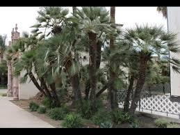 mediterranean fan palm tree chamaerops humilis european fan palm mediterranean fan palm youtube