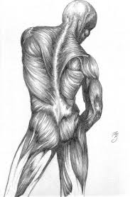 muscle study by spaciousinterior on deviantart