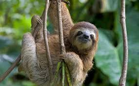 4 toed sloth three toed sloth symbolic animal adoptions from wwf