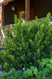 Laurel Topiary - little ragu sweet bay monrovia little ragu sweet bay