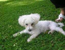 1 week old bichon frise little bo peep u2013 16 week old female bichon frise dog for adoption