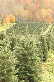 fraser fir tree fraser fir a top 100 common tree in america