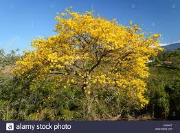 Flower San Jose - central america costa rica san jose schizolobium tree flower