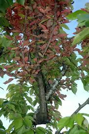 cherry prunus spp witches broom pacific northwest pest