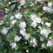 best 25 myrtle flower ideas on crepe myrtle trees