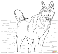 drawn husky coloring page pencil and in color drawn husky