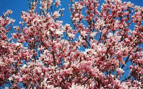 Magnolia Wallpaper Download Wallpaper 3840x2400 Magnolia Bloom Sky Branch Spring