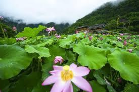 Lotus Flower Bloom - lotus flowers bloom in east china u0027s town xinhua english news cn
