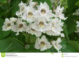 beautiful tiny white flowers flowing a tree stock photo