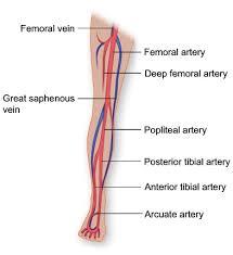 Foot Vascular Anatomy Vasculature Of The Leg Anatomy Diagram Oh Goodness Tuesday U0027s