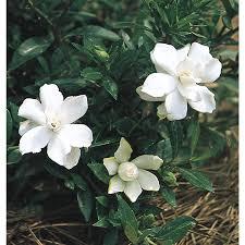 Gardenia Delivery Shop 2 25 Gallon White Radicans Dwarf Gardenia Flowering Shrub