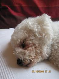 bichon frise 17 years old oscar u2013 2 year old male bichon frise dog for adoption
