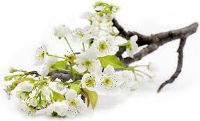 Metz Flowers - pear blossoms information and facts