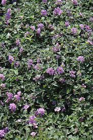 sunlight l for plants purple trailing lantana lantana montevidensis in denver centennial
