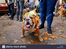 english bulldog halloween costumes london uk 25th october 2015 dogs are dressed up in halloween