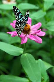 blue butterfly on pink flower 2 by panisetcircense on deviantart