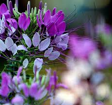 Cleome Flower - 41 best cleome images on pinterest flower gardening flowers and