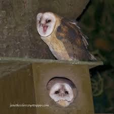 Barn Owl Sounds Barn Owl Behavior Coyote Yipps