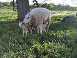 ups and downs u2013 the realities of raising sheep sacramento valley
