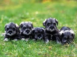 cute dog christmas wallpapers mini dogs puppies schnauzer animals cute christmas wallpaper for