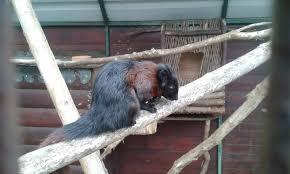 bentley orangutan ponderosa rural therapeutic centre photo galleries zoochat