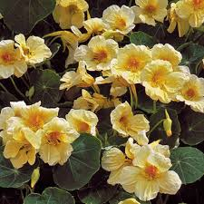 nasturtium flowers milkmaid nasturtium flower seed savers exchange