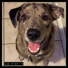 australian shepherd catahoula mix mckinney tx australian shepherd catahoula leopard dog mix meet