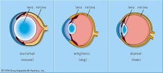 Anatomy Of A Cats Eye Photoreception Biology Britannica Com