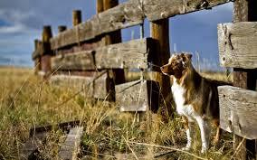australian shepherd jumping fence australian shepherd wallpaper 81 images pictures download