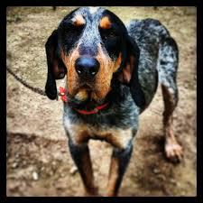bluetick coonhound reviews bluetick coonhound