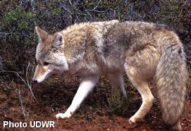Can Coyotes See Red Light Coyotes Wildawareutah Org Preventing Encounters With Coyotes