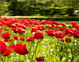 Netherlands Tulip Fields The Netherlands In Bloom Tulip Festival In Amsterdam Keukenhof
