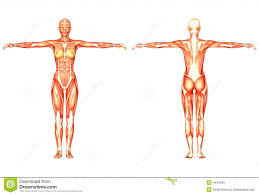 Female Anatomy Image Female Body Anatomy Anatomy Body Charts