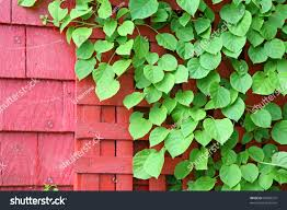 bright green climbing hydrangea vine on stock photo 49000372