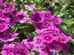 Verbena Flower Flowers Page 27