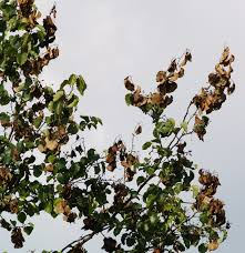 blight on ornamental pear east gardening