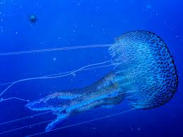 the animal without a brain that is taking over the ocean u2014 oceans
