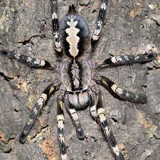 rozzer s tarantulas awesome website for buying tarantulas in