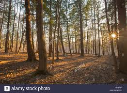 sunset view through pine trees in the berkshire mountains of