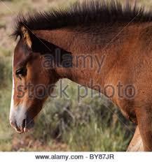 mobile bay mustang mustang bay foal running pryor mountains montana