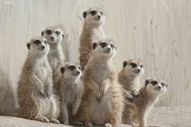 Large Wallpaper Murals Free Best Hd Wallpapers Meerkats Meerkat Wild Life Amazing Pet Wall Murals Backgrounds