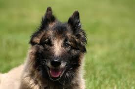 belgian sheepdog traits belgian tervuren temperament u0026 personality
