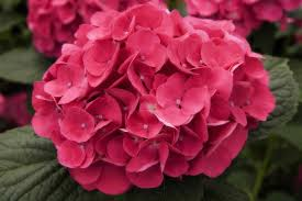 hydrangea poisoning in cats symptoms causes diagnosis treatment