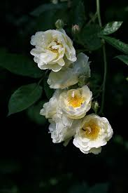 129 best rosiers lianes rambling roses images on pinterest