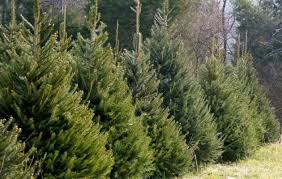 christmas tree for sale ohs athletic boosters christmas tree sale historic manassas