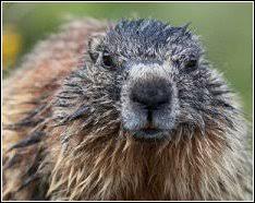 woodchucks u0026 groundhogs wildlife whisperer
