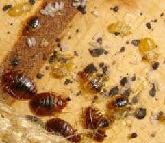 What Does Bed Bugs Eggs Look Like Bed Bugs Facts Symptoms Treatments