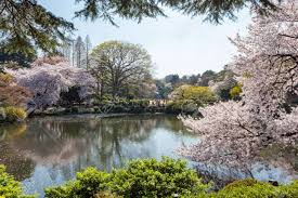 blossom trees the pond and cherry blossom trees in shinjuku gyoen national