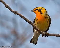 Vermont birds images New vce study reveals decline in vermont forest birds vermont jpg