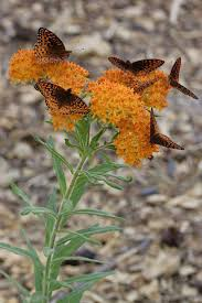 flagstaff native plant and seed gardening etcetera a primer on planting milkweeds for monarchs
